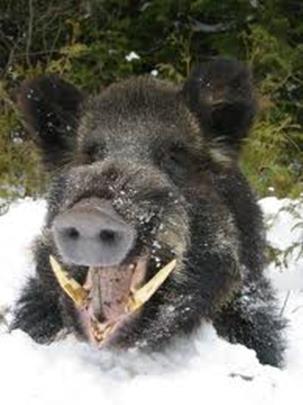 Wild boar with tusks. www.huntercourse.com