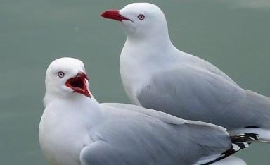 3.  NZ seagulls